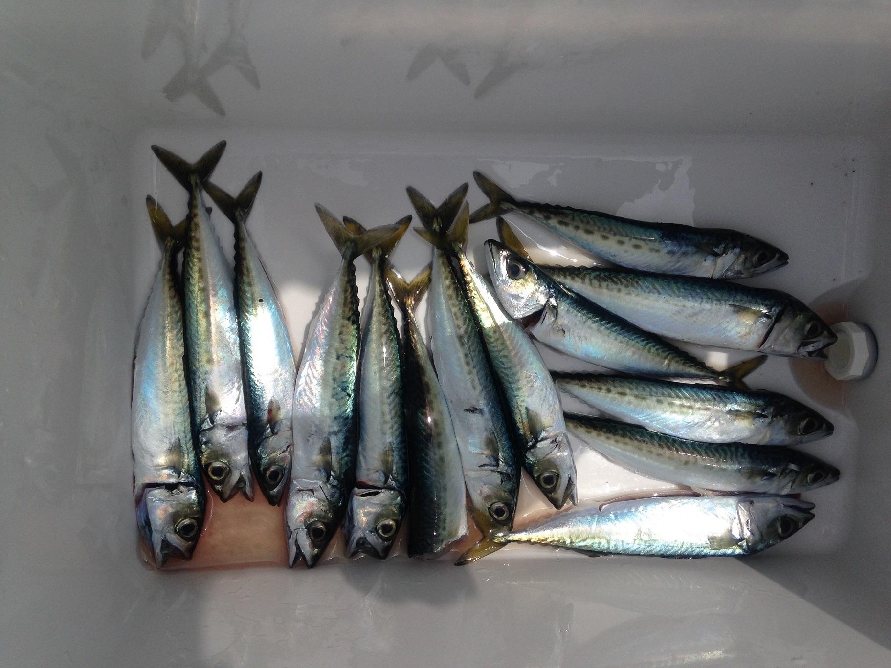 2014年06月30日 サバ, 三浦半島, 城ヶ島, ヒナダン, 磯釣り