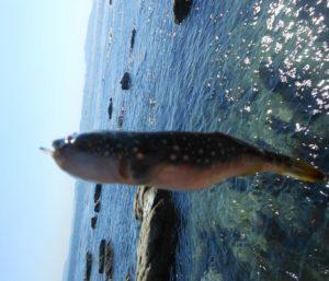 2014年03月23日 フグ, 三浦半島, 燈明崎, 磯釣り