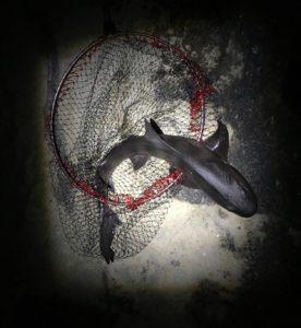 2017年12月23日 ドチザメ, 三浦半島, 城ヶ島, 四畳半, 磯釣り